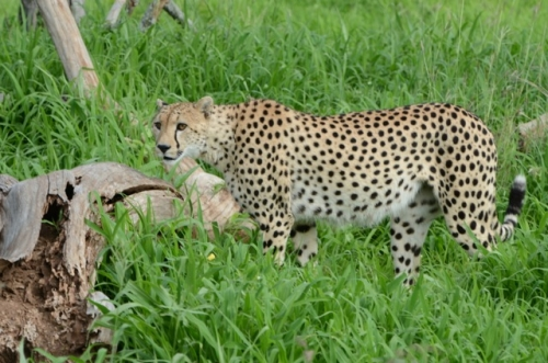 Cheetahs are capable of speeds up to 60 MPH.