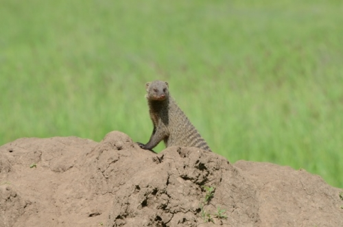A banded mongoose at home on a termite mound.