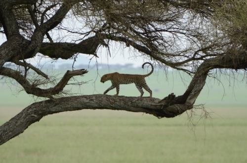 We watched as this leopard left his perch...