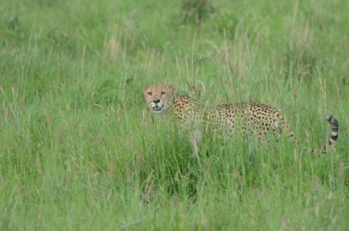 Fist Day we spotted this cheetah stalking a water buck.